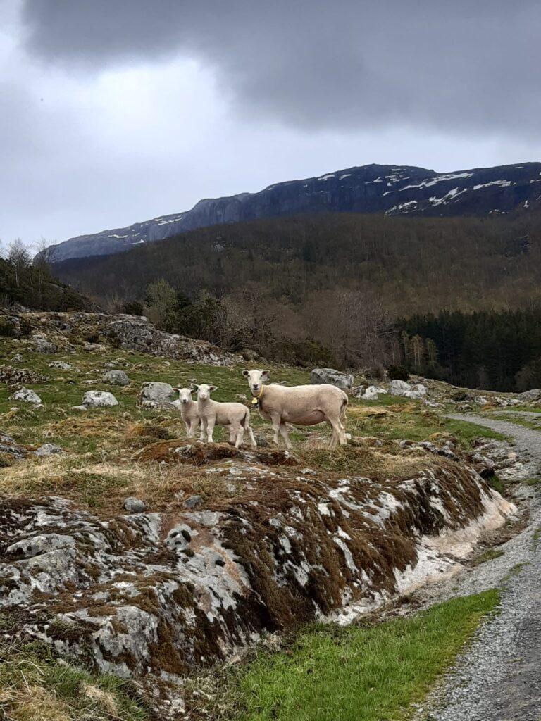 sheep EN